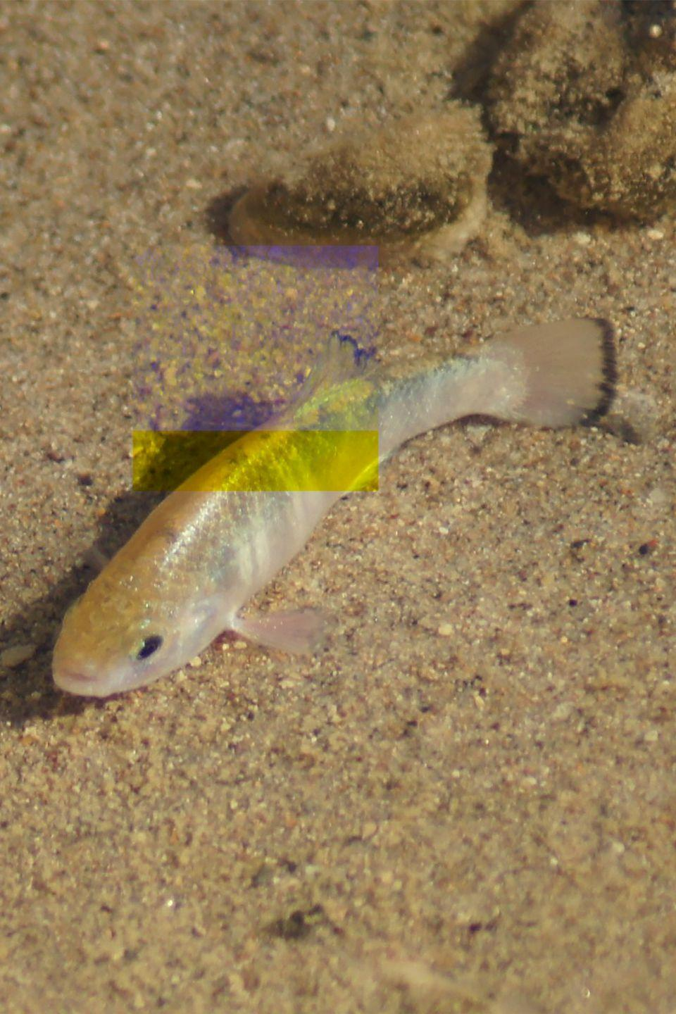 <p>When it comes to fish, you often categorize them as fresh- or saltwater-thriving. But give pupfish <em>any</em> kind of water—fresh, salty, freezing, warm—and they can survive just fine, biologists say. Researchers believe they have this ability because they evolved by only having low-quality water during the Ice Ages.</p>