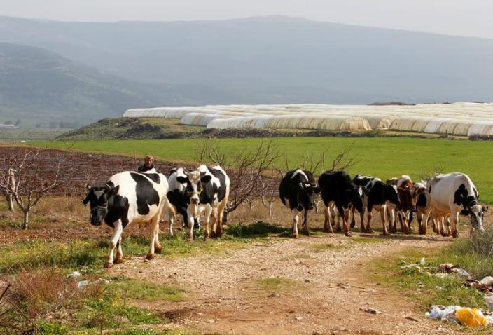 A shepherd herds cows in the village of Wazzani, near the Lebanese-Israeli border