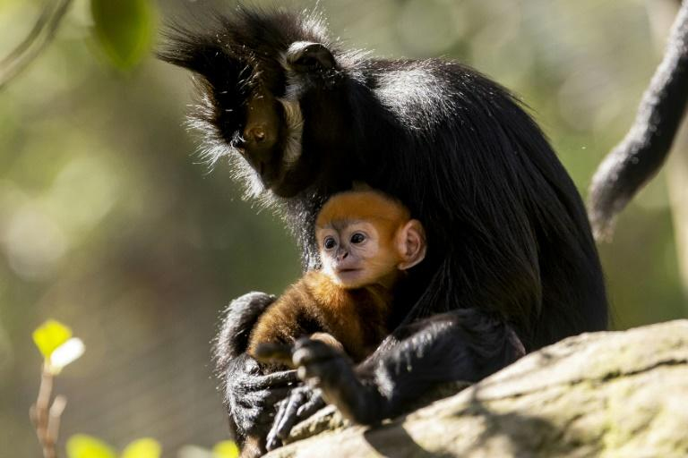 A newly-born male Francois' Langur, one of the world's rarest monkeys, staying close to his mother Noel at the Taronga Zoo in Sydney