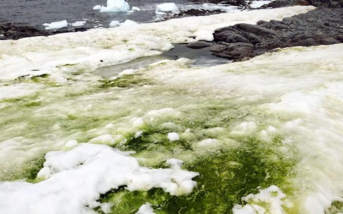Snow algae which is growing in the icy conditions - Dr Matt Davey/AFP