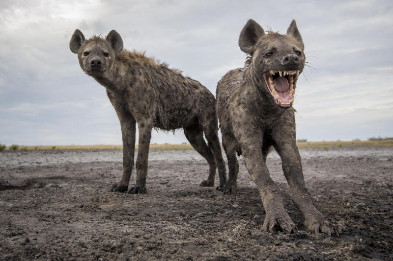 Two spotted hyenas at the Liuwa Plain National Park. (Photo: Will Burrard-Lucas/Caters News)