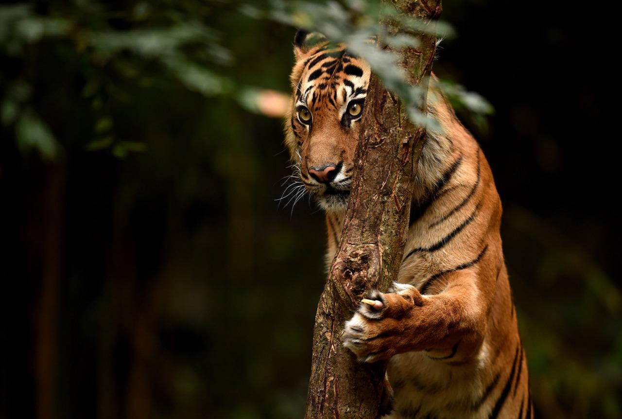 <p>A Sumatran Tiger called Indrah climbs a tree in its enclosure at the Melbourne Zoo in Melbourne, Australia, July 29, 2016. Only around 350 Sumatran Tigers remain in the wild due to deforestation. International Tiger Day is celebrated on July 29 to raise awareness of endangered tiger species. (Photo: TRACEY NEARMY/EPA)</p>