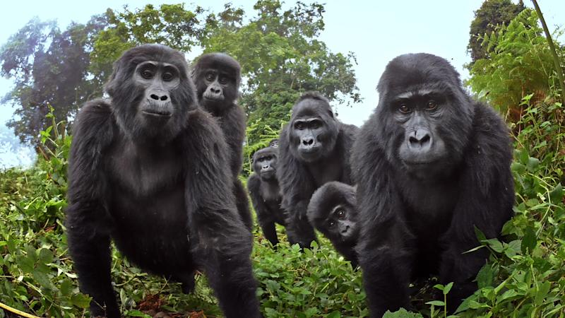 Spy in the Wild 2 features Ugandan mountain gorillas singing (Credit: John Downer Productions/BBC)