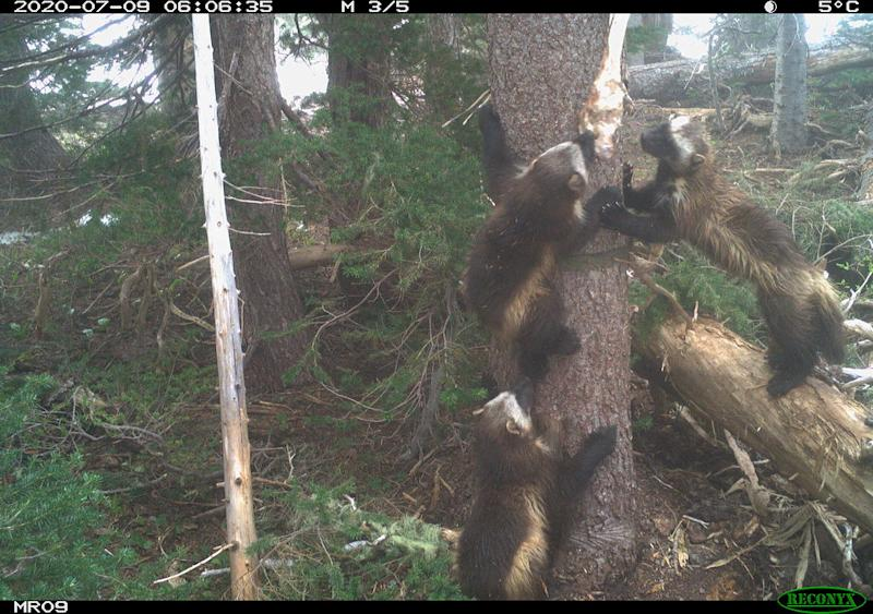Wolverine Mom with Kits