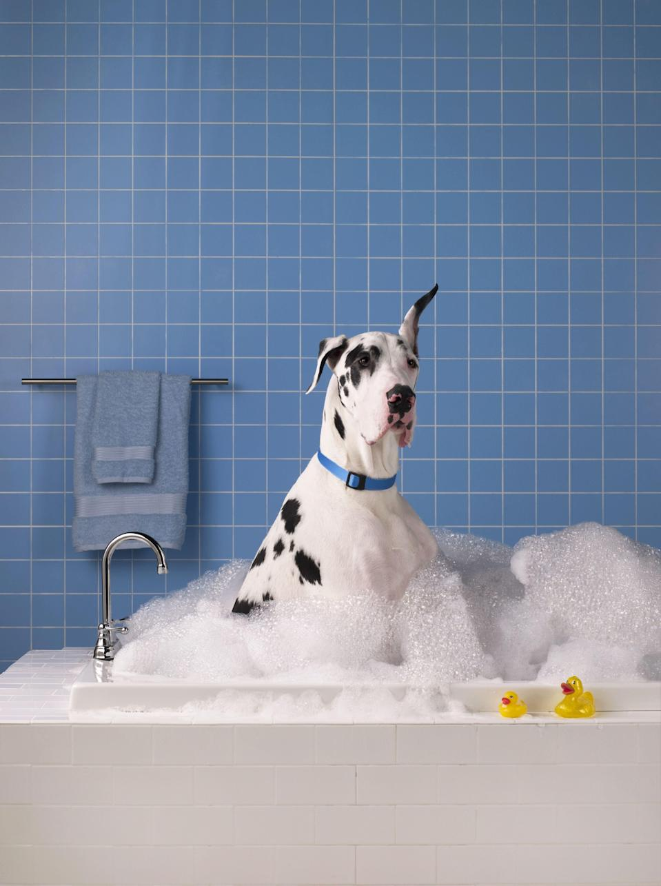 "<p>If your pet shampoo has been leaving your pup smelling like, well, a wet dog, then it's time for an upgrade. However, finding the right dog shampoo isn't as easy as it sounds. As you may have figured out, many dog shampoos promise more than they can deliver. ""The FDA does not regulate grooming aids (pet cosmetics) unless they are a drug, meaning they are intended for medical purposes,"" explains<strong> <a href=""https://www.goodhousekeeping.com/author/12432/birnur-aral-phd/"" rel=""nofollow noopener"" target=""_blank"" data-ylk=""slk:Birnur Aral, Ph.D."" class=""link rapid-noclick-resp"">Birnur Aral, Ph.D.</a>,</strong> Director of the Good Housekeeping Institute's Health, Beauty and Environmental Sciences Lab. ""Therefore, the barrier to entry into this market is even lower than that for cosmetics, which in short are defined as products intended for beautifying and cleansing of human skin, hair and nails. This has recently led to an explosion of pet grooming brands, for that matter dog shampoo products, in the market.""</p><p>Basically, you should be looking for the same thing in dog shampoos that you look for in human shampoos — to remove dirt and oil. Also, a vet's recommendation doesn't hurt. ""When choosing a dog shampoo, we recommend that consumers rely on their veterinarians for guidance or use products from established brands,"" says Aral. ""After all, a shampoo's main function, whether for humans or pets, is to clean hair and underlying skin. Clean hair and coat will be shinier when there is no dirt and oil which are known to dull the appearance of the hair fibers."" To keep your four-legged friends happy and clean, here are the best dog shampoos to buy.</p>"