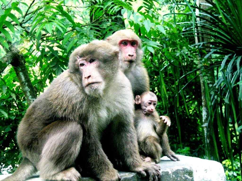 """A family of Stump-tailed Macaques (Macaca arctoides) on the way to Kalimpong, northern West Bengal <br>By <a target=""""_blank"""" href=""""http://www.flickr.com/photos/springdew/"""">Veena-Nair</a>"""