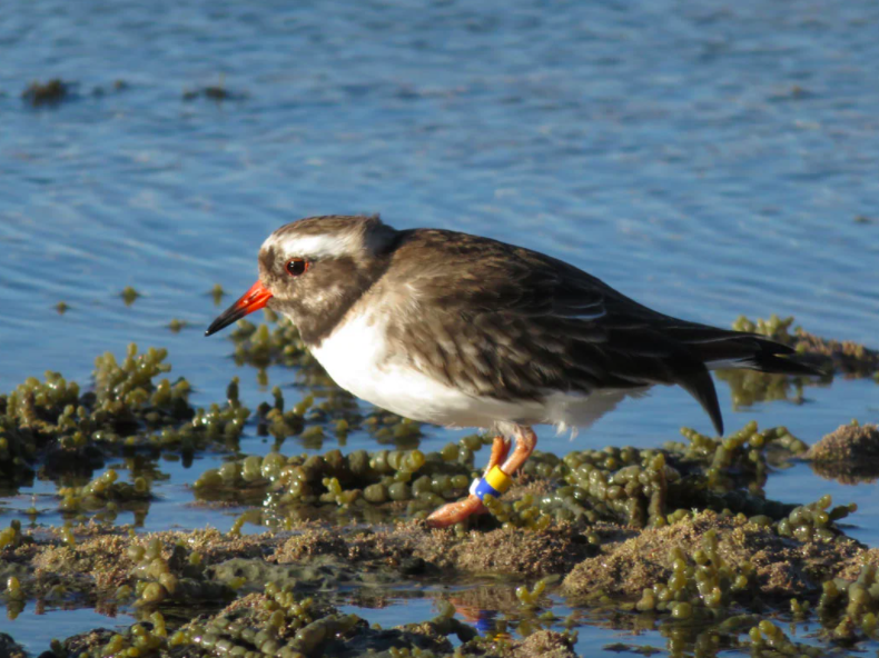 A shore plover, which is a critically endangered bird species in New Zealand: New Zealand Department of Conservation