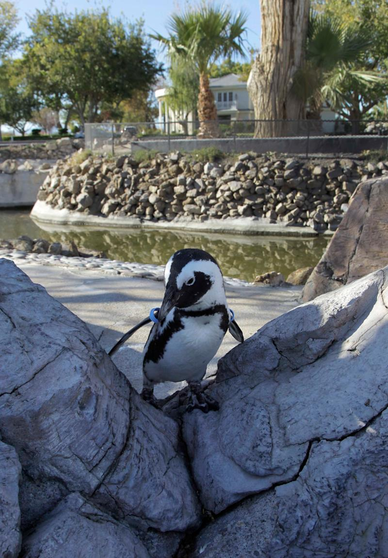 In this photo taken Friday, Nov. 12, 2010, Charlie, a South African penguin, walks around his enclosure on Wayne Newton's estate in Las Vegas. (AP Photo/Julie Jacobson)