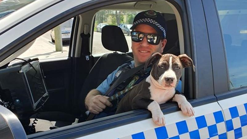 American Staffordshire Terrier Athena was stolen from a home in Cooks Hill. She is pictured here leaning out of the window with a NSW Police officer.