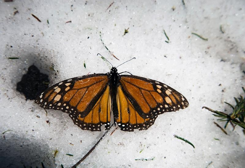 North American governments have taken steps since last year to protect the monarch butterfly, which crosses Canada and the United States each year to hibernate on the fir and pine trees of Mexico's western mountains