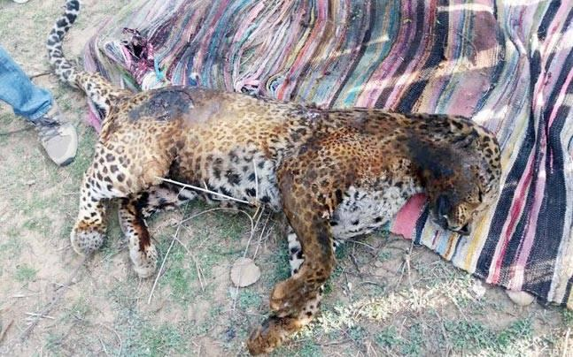 Rajasthan: Forest department files FIR after angry mob set leopard on fire in Sariska