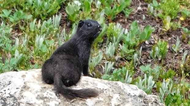 Calgary naturalist Brian Keating spotted this young black Columbian ground squirrel while hiking up in the Sunshine Meadows on Friday, July 23. (Brian Keating - image credit)