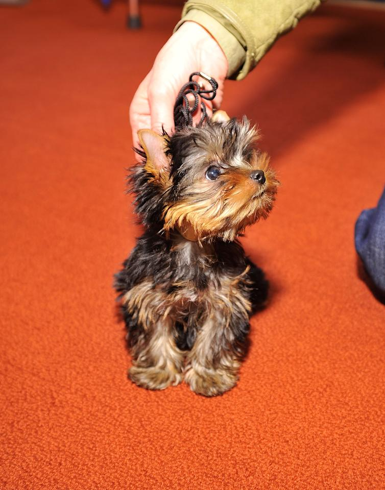NEW YORK, NY - FEBRUARY 28:  Sierra,  a Yorkshire Terrier puppy attends as American Kennel Club announces Most Popular Dogs in the U.S. at American Kennel Club Offices on February 28, 2012 in New York City.  (Photo by Gary Gershoff/Getty Images for AKC)