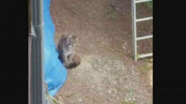 PHOTO: A neighbor snapped a photo of one of the two cougars that were euthanized in Lake Cowichan, Vancouver Island, after an attack. (CTV)