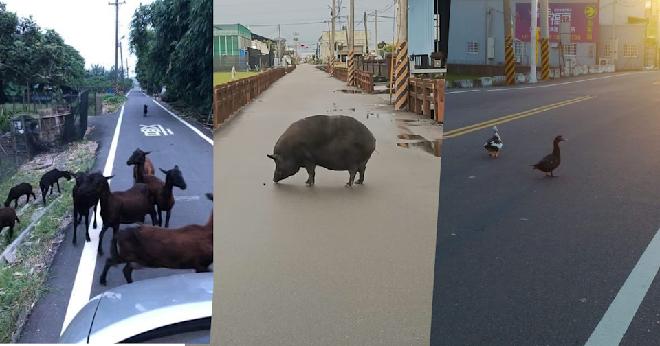 <p>A social media user recently found his path blocked by a giant black pig while driving, and unexpectedly received tons of replies sharing similar experiences in response. (Photo courtesy of 爆廢公社公開版/Facebook)</p>