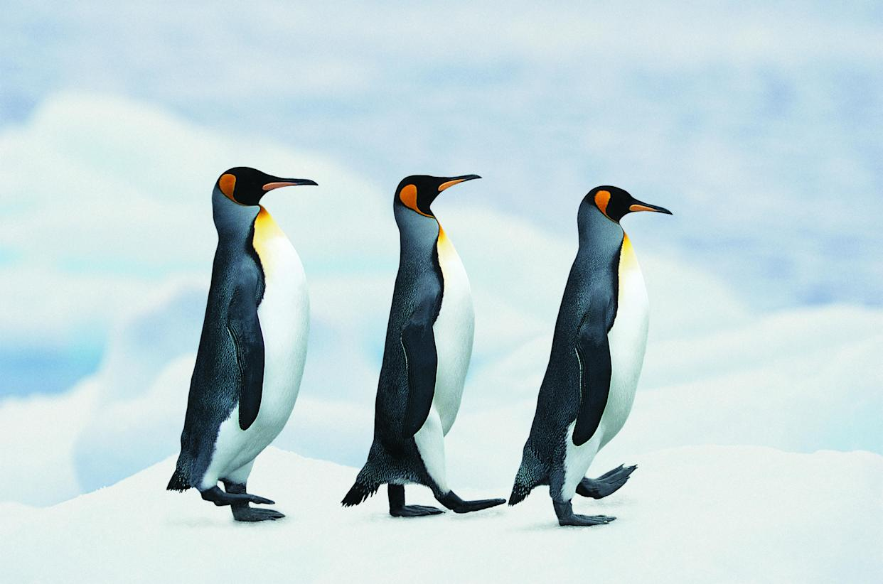 NHS trusts in Scotland have told people to waddle like penguins to avoid icy falls. (Getty)
