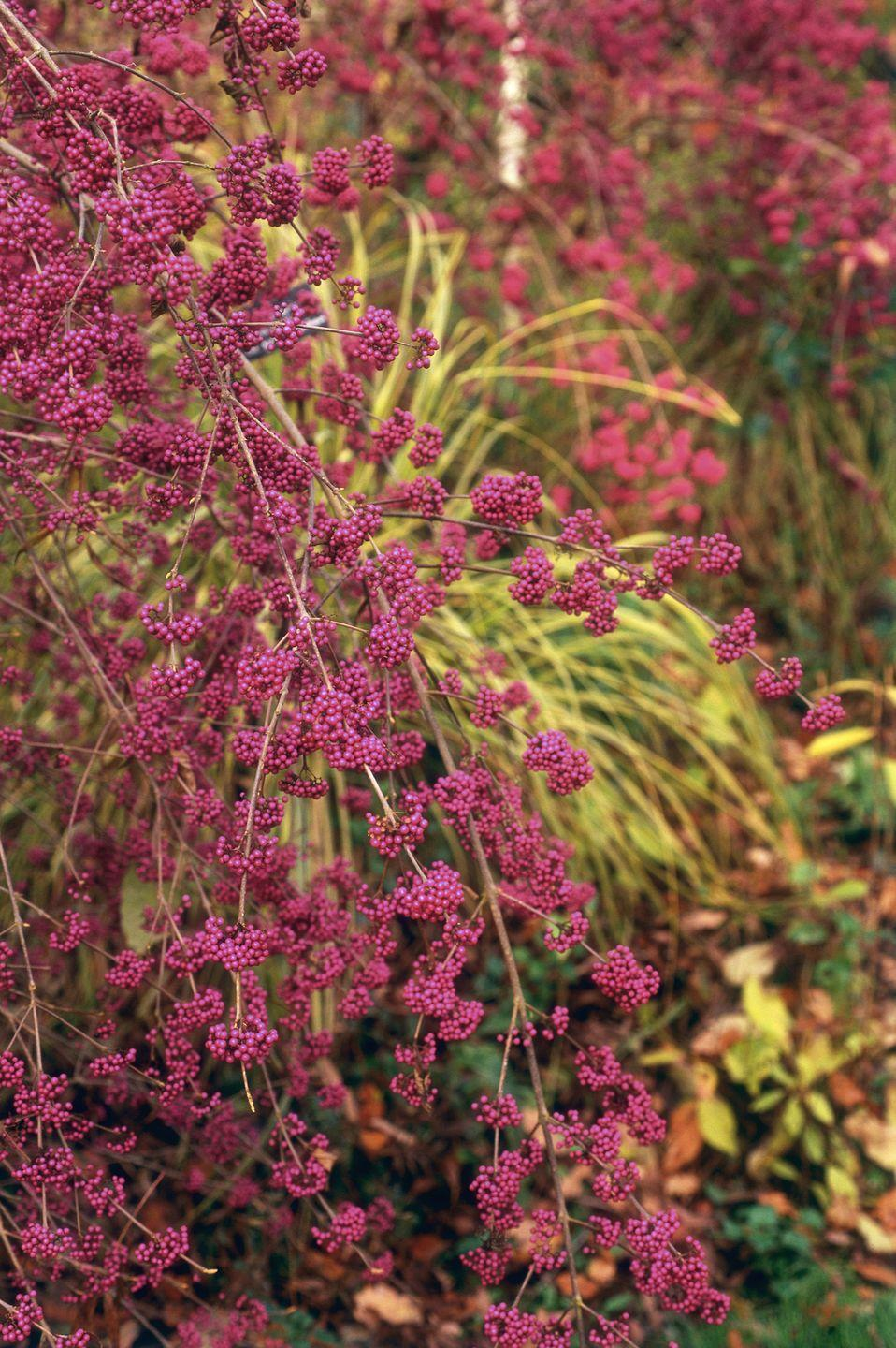 """<p>Beautiful in every season, these <a href=""""https://www.wildflower.org/plants/result.php?id_plant=caam2"""" rel=""""nofollow noopener"""" target=""""_blank"""" data-ylk=""""slk:fast-growing shrubs"""" class=""""link rapid-noclick-resp"""">fast-growing shrubs</a> with lilac-like flowers and purple berries last into winter. The seeds and berries of beautyberry often attract other guests including birds and white-tailed deer. </p><p><strong>When it blooms: </strong>Fall</p><p><strong>Where to plant:</strong> Full to partial sun</p><p><strong>When to plant:</strong> Spring or fall</p><p><strong>USDA Hardiness Zones:</strong> 7 to 11</p>"""