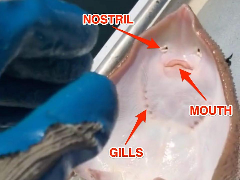 Arrows point to the ray's nostril, mouth, and gills.