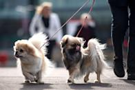 <p>Tibbies are known to be naturally frisky and curious dogs that have a strong bond with their humans. Like the Lhasa Apso, they were also bred for sentinel work at Tibetan monasteries. </p><p><strong>Weight: 9-15 pounds</strong></p>