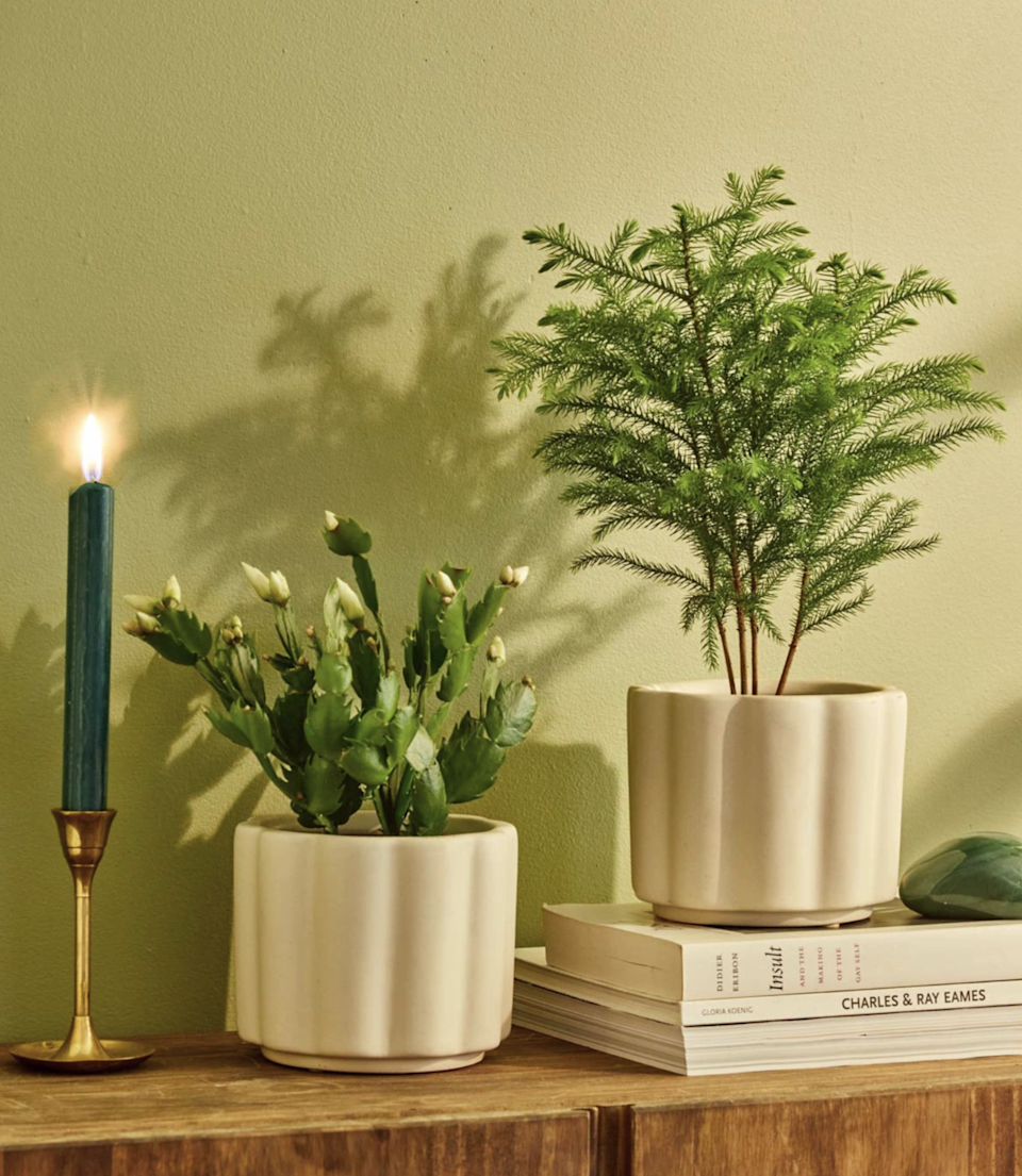 "<br><br><strong>The Sill</strong> Holiday Cactus or Norfolk Tree + Planter, $, available at <a href=""https://go.skimresources.com/?id=30283X879131&url=https%3A%2F%2Fwww.thesill.com%2Fproducts%2Fchristmas-cactus%3Fvariant%3D32919451172969"" rel=""nofollow noopener"" target=""_blank"" data-ylk=""slk:The Sill"" class=""link rapid-noclick-resp"">The Sill</a>"
