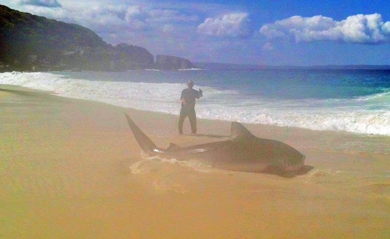 Fisherman Brendon Hilder hauled in this monster tiger shark with his handline at Shelley Beach today.