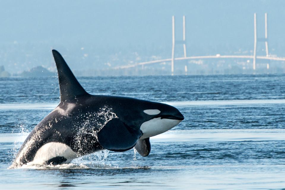 A large male orca (killer whale) breaches in Vancouver Harbor