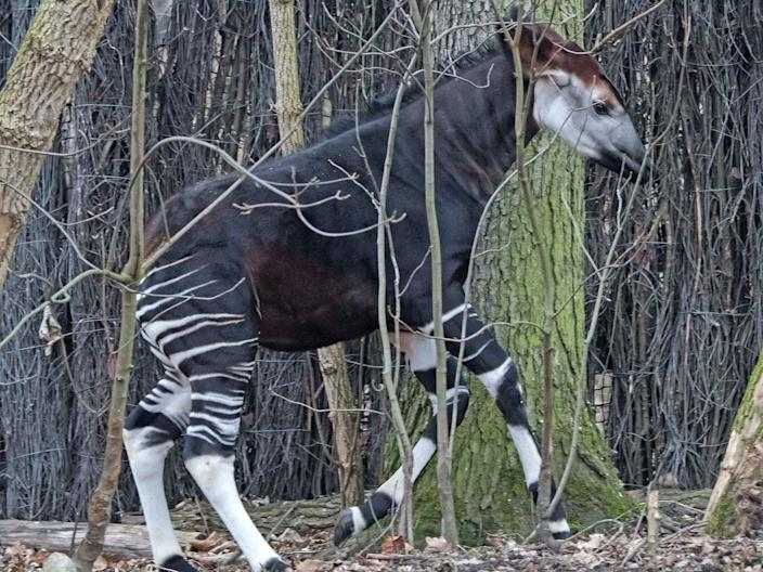 The okapi is one of the oldest mammals on earth.