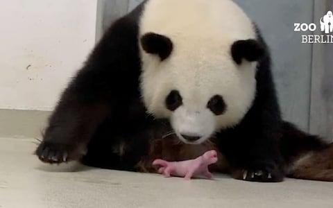 Editorial use only. -- BEST QUALITY AVAILABLE -- HANDOUT /NO SALES Mandatory Credit: Photo by ZOO BERLIN HANDOUT/EPA-EFE/REX (10377096f) A frame grab taken from an undated handout video made available by Zoo Berlin on 02 September 2019 shows female giant panda Meng Meng taking care of one of her two newborn panda twins at the zoo in Berlin, Germany. According to the zoo, the two baby pandas were born by mother Meng Meng on 31 August 2019. The cubs are the first Pandas to be born in Germany. Panda Meng Meng gives birth to twins in Berlin, Germany - 02 Sep 2019 - Credit: ZOO BERLIN HANDOUT/EPA-EFE/REX