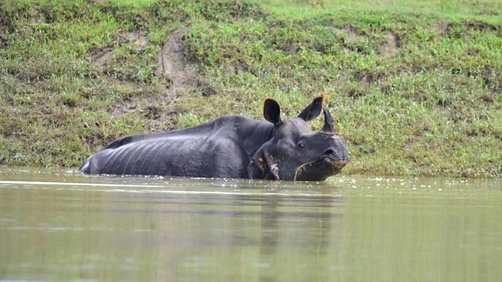 The Kaziranga park is home to the world's largest population of one-horned rhinos