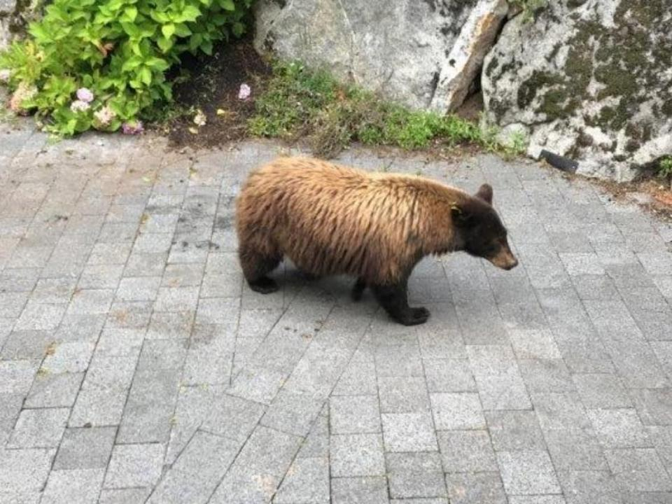 A camera caught one of the bears attracted to Zuzana Stevikova's Whistler property by the produce she left for the animals out of apparent concern for their health. Conservation officers killed a sow and two cubs after investigating. (Conservation Officer Service - image credit)