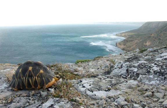 The radiated tortoise has disappeared from wide areas of its native habitat in southern Madagascar due to hunting for food and the illegal pet trade.