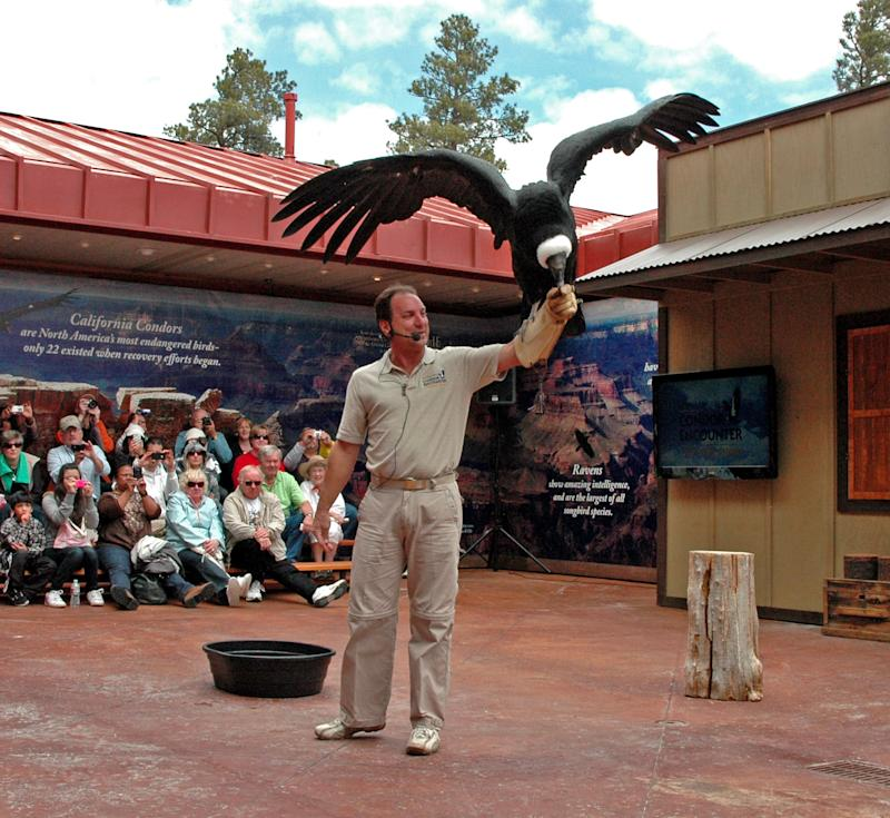 FILE-   In this May 20, 2011 file photo provided by National Geographic Visitor Center, an Andean condor showcases its wingspan while perched on the arm of Joe Krathwohl during a live bird show in Tusayan, Ariz. The show at the National Geographic Visitor Center is drawing attention to the plight of the endangered California condor.   (AP Photo/National Geographic Visitor Center, Courtesy of Joel Kramer, File)