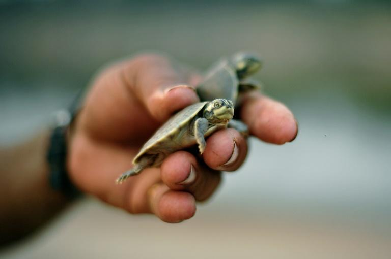 During the dry season in Brazil's Amazon, the Purus River snaking through the Medio Purus Extractive Reserve shrinks to leave vast beaches on which thousands of turtles lay their eggs every year