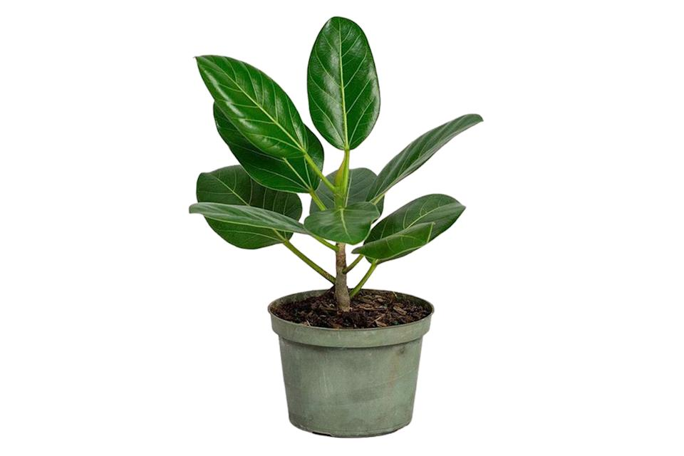 "$195, Bloomscape. <a href=""https://bloomscape.com/product/ficus-audrey/"" rel=""nofollow noopener"" target=""_blank"" data-ylk=""slk:Get it now!"" class=""link rapid-noclick-resp"">Get it now!</a>"