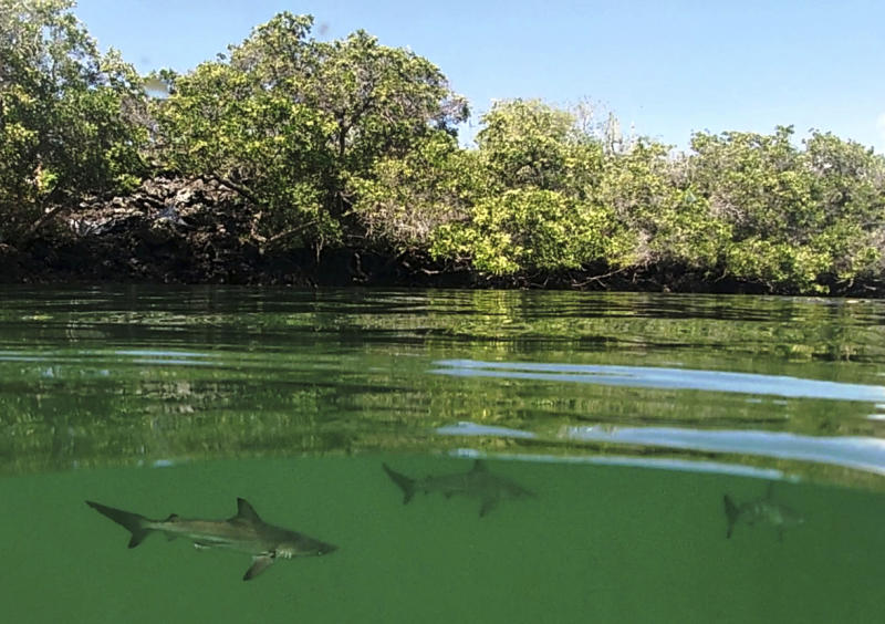 This Feb. 25, 2019 handout photo provided by the Galapagos National Park shows a hammerhead shark nursery which was recently discovered in Santa Cruz, Galapagos Islands, Ecuador. The International Union for the Conservation of Nature lists hammerhead sharks as endangered species that have suffered sharply declining numbers in recent years around the world. (Galapagos National Park Photo via AP)