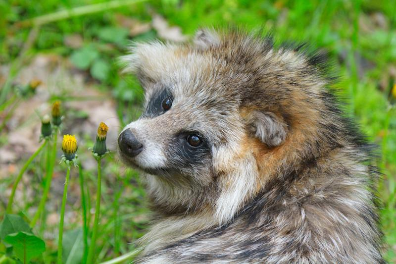 Raccoon Dog, Nyctereutes procyonoides, Spring, Germany