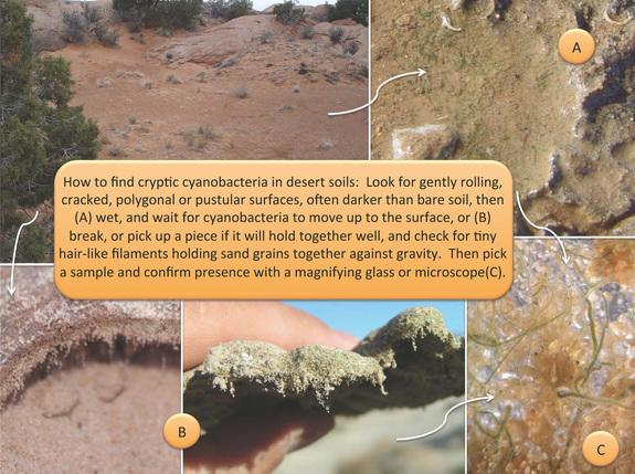 Biocrusts can be found throughout the arid regions of the American West.