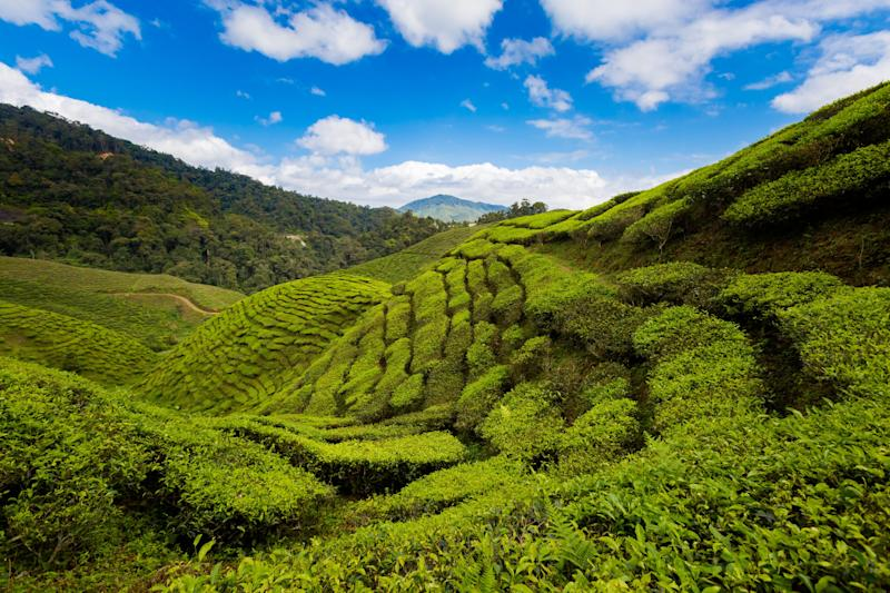 Nick plans to propose to Rachel in the Cameron Highlands in Malaysia.