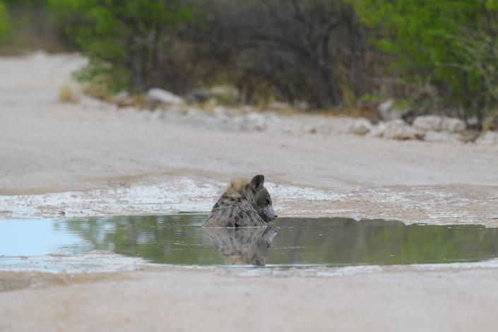 A hyena cools off in a puddle in the middle of the road after a night of rains near the Aus water hole. (Photo: Gordon Donovan/Yahoo News)