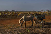 A horse grazes next to his carriage in a potato field in Guines, Cuba, Friday, March 26, 2021. Authorities are promoting the production of basic staple foods while many essential vegetables have disappeared from markets, triggered by the coronavirus pandemic's effect on the country's already compromised economy. (AP Photo/Ramon Espinosa)