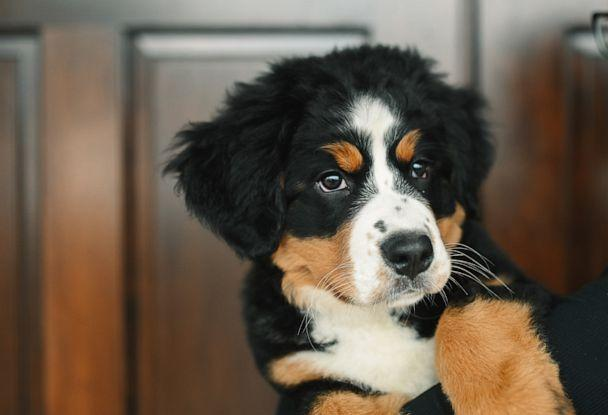 PHOTO: Bernese Mountain Dog, Mochi, will train to be a certified therapy dog at Macon Funeral Home in Franklin, North Carolina. (Credit: Courtesy of Callie Lynch Photography)