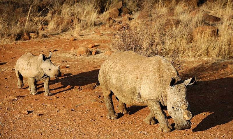 New figures showed that South Africa has lost a record 749 rhino to poaching this year, an almost five percent increase from the same period last year