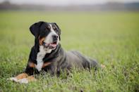"<p>The <a href=""https://www.akc.org/dog-breeds/greater-swiss-mountain-dog/"" rel=""nofollow noopener"" target=""_blank"" data-ylk=""slk:Greater Swiss Mountain Dog"" class=""link rapid-noclick-resp"">Greater Swiss Mountain Dog</a> is a large, immensely strong worker that has earned its reputation as a hiker's best companion. Their coat in a striking tricolor—black, red, and white is one of their most striking features.</p>"