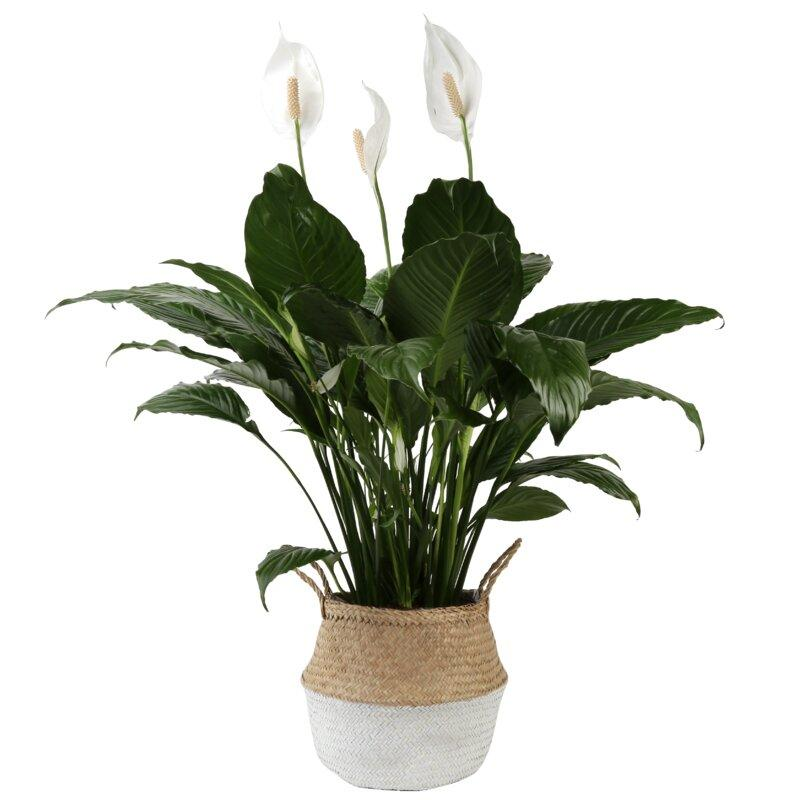 "32 ""Live Peace Lily plant in a basket (Photo credit: Wayfair)"