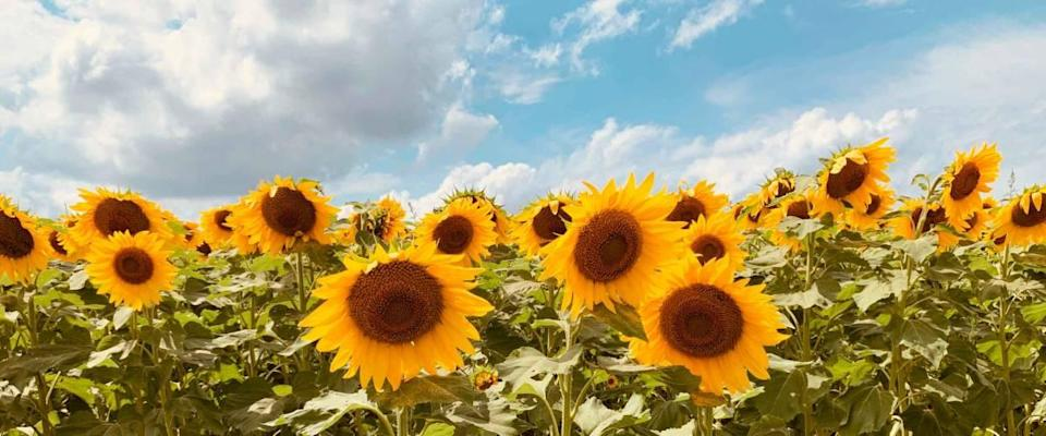 Sunflowers blooming under a beautiful summer sky. The sunflower is the state flower of Kansas.