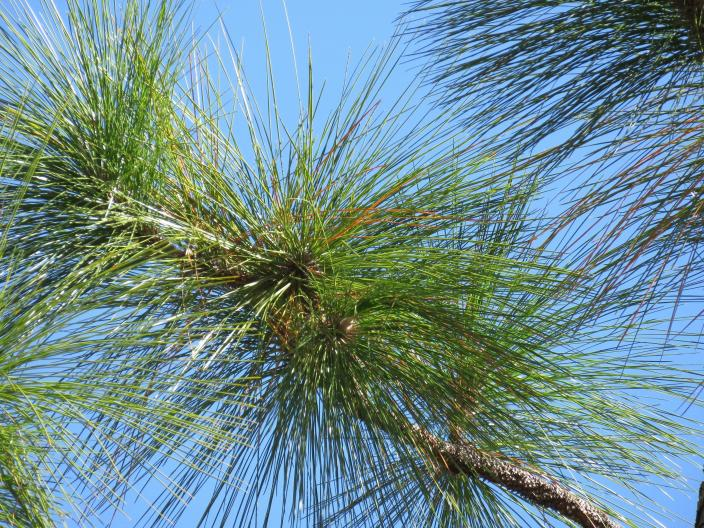 Footlong needles that give longleaf pine its name are seen in the DeSoto National Forest on Wednesday, Nov. 18, 2020. An intensive effort in nine coastal states is bringing back longleaf pines -- armor-plated trees that bear footlong needles and need regular fires to spark their seedlings' growth and to support wildly diverse grasslands that include carnivorous plants and harbor burrowing tortoises. (AP Photo/Janet McConnaughey)