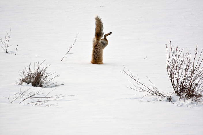 """<b>Honorable Mention: Red Fox catching mouse under snow</b> <br> With his exceptional hearing a red fox has targeted a mouse hidden under 2 feet of crusted snow. Springing high in the air he breaks through the crusted spring snow with his nose and his body is completely vertical as he grabs the mouse under the snow. <a href=""""http://ngm.nationalgeographic.com/ngm/photo-contest/"""" rel=""""nofollow noopener"""" target=""""_blank"""" data-ylk=""""slk:(Photo and caption by Micheal Eastman/National Geographic Photo Contest)"""" class=""""link rapid-noclick-resp"""">(Photo and caption by Micheal Eastman/National Geographic Photo Contest)</a>"""