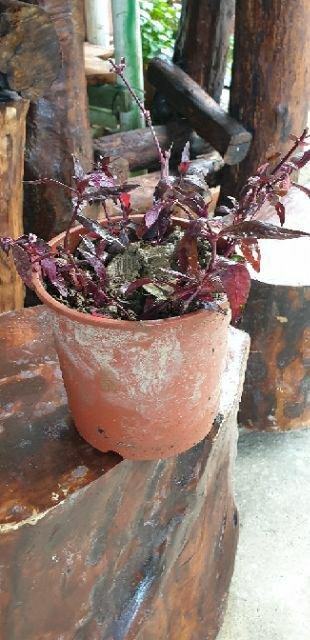 紅 田烏,( 香草藥植物),高8公分(裸根土球出貨每棵6元)