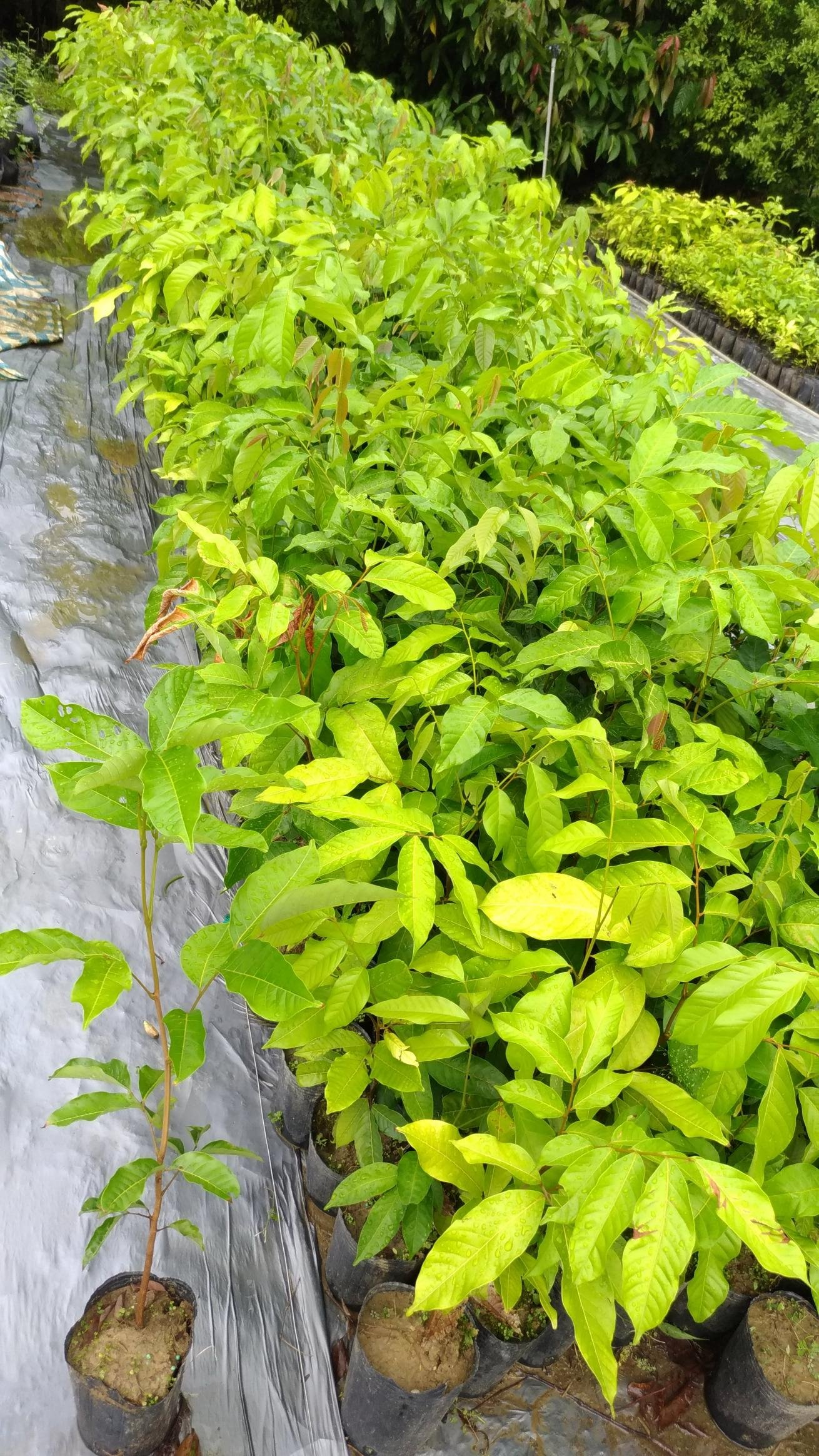 哇沙米園藝#紅毛丹實生苗,夯!高60公分,一箱可裝12株,新竹宅配送可貨到付款。