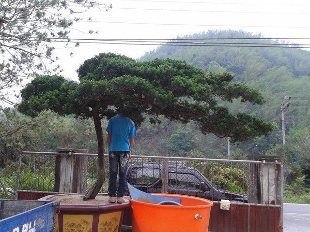 庭園樹-大型高腳真柏2(另售龍柏竹柏五葉松梅子樹雪松羅漢松櫻花雞蛋花台灣油杉)